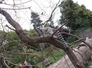 """Ring Tailed Lemur"" in the walk-in -Enclosure of Prague Zoo."