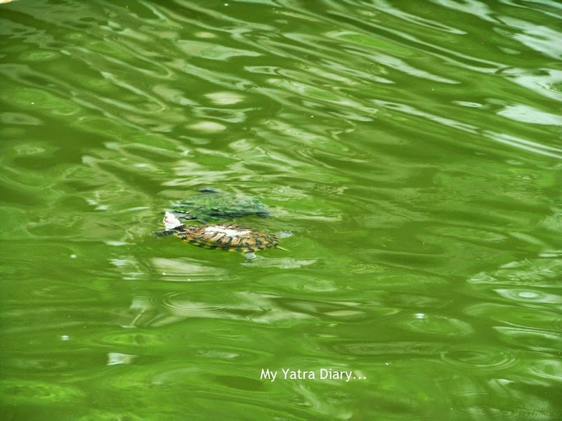 Turtles in the lake of Shri Swayumbhu Siddhivinayaka Ganesh Temple, Vazira Naka in Borivli