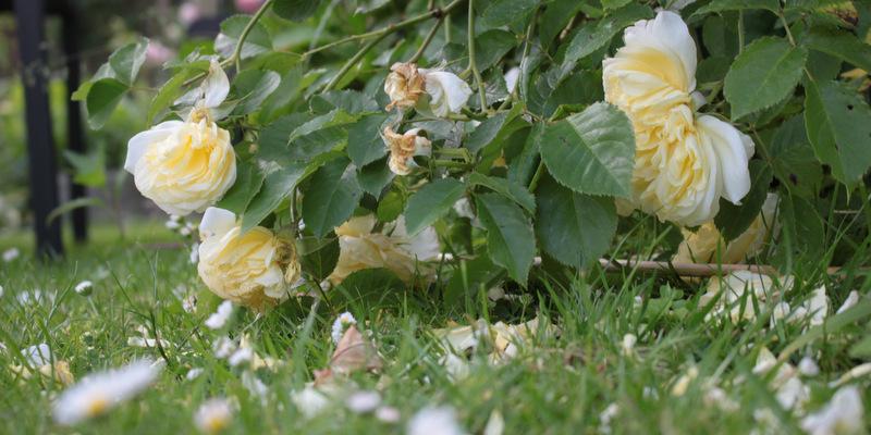 Klip roser
