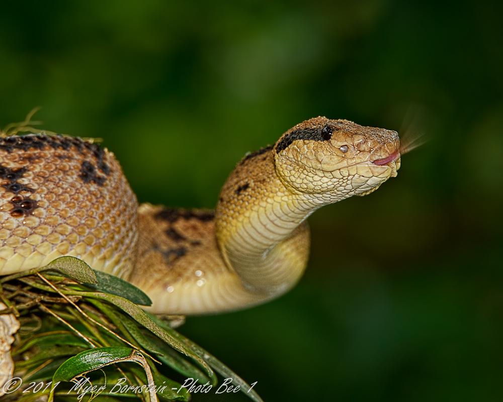 Viper+Snake+Strike ... viper snake strike displaying 20 images for ...
