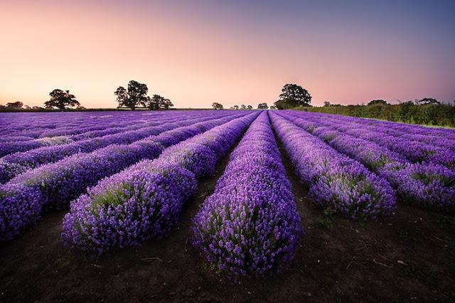 英格蘭薩默塞特的夢幻薰衣草原