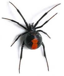 desert black widow spider - photo #40