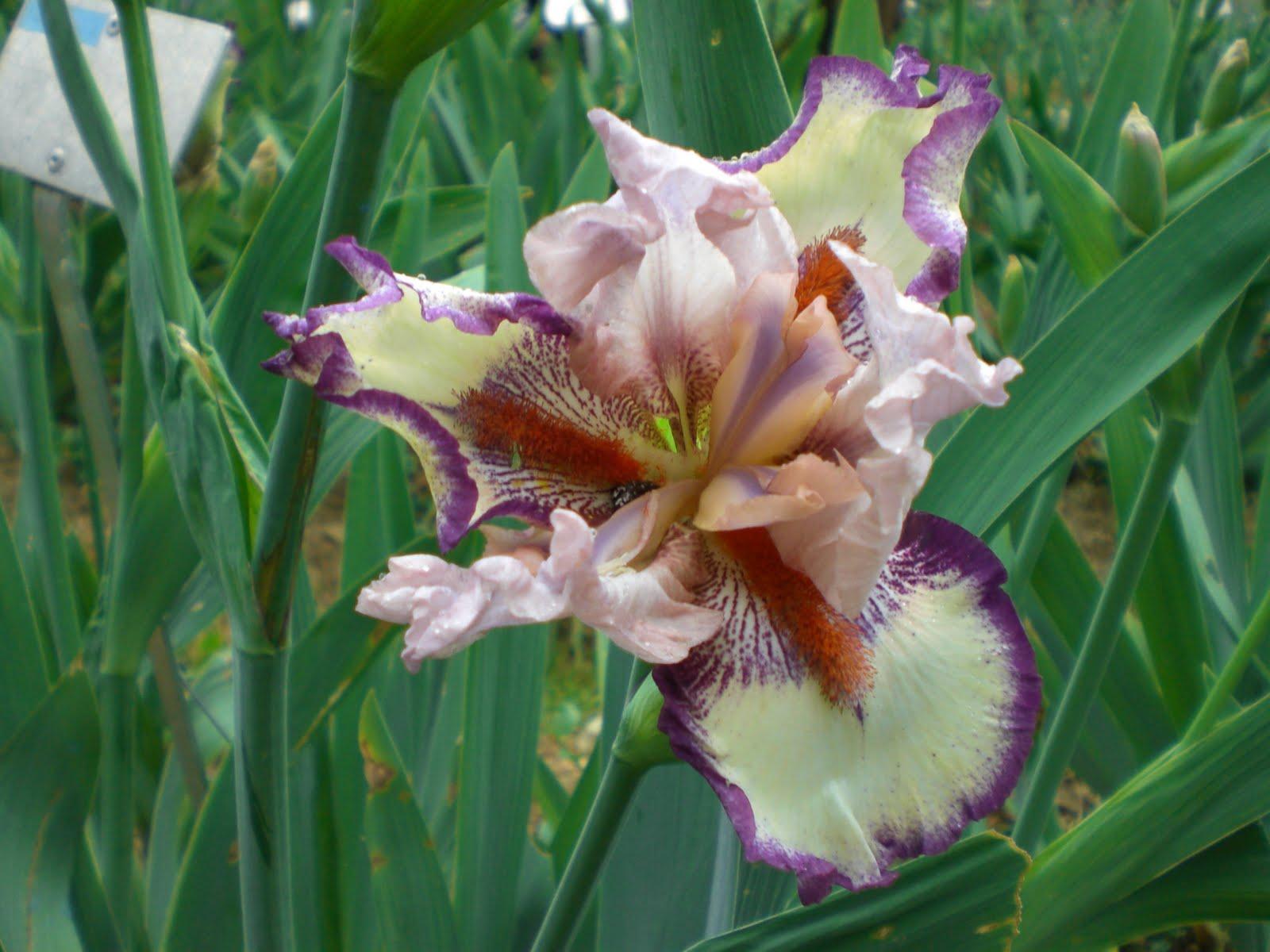 Anna lanzetta aprile 2011 - Giardino dell iris firenze ...