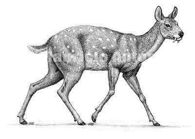 moschidae extinct Micromeryx
