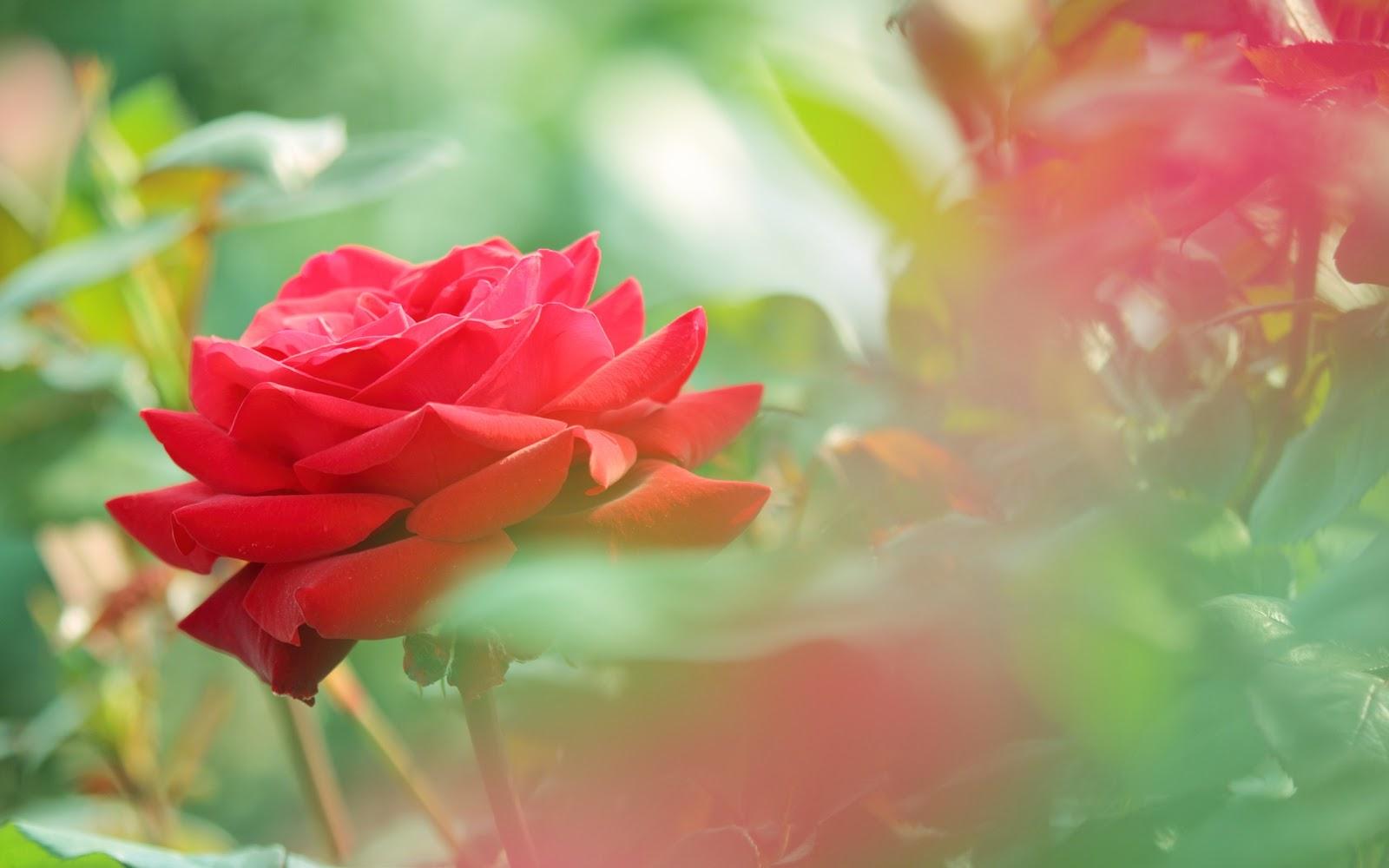 single pink flower rose - photo #19