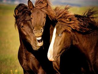 Grupo de caballos riéndose