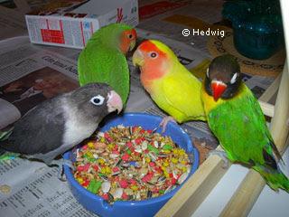 Fotos de nidos de periquitos australianos 20