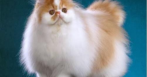 1001 Gambar Keren Gambar Kucing Persia