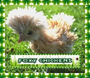 Foxy Chickens. Rare breed chickens for sale. East Yorkshire
