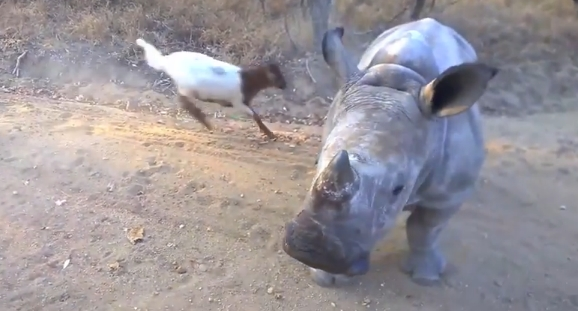 Orphaned Baby Rhino Seems To Think Hes A Fuzzy Little Lamb (VIDEO)