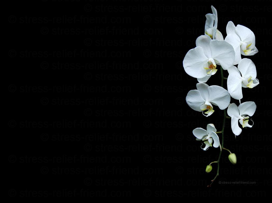 Kelly 39 s blog orchid background - Flower wallpaper black ...