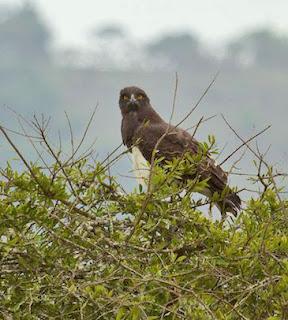 Black-chested Snake-eagle (James Hogg)
