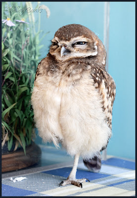 Potter, Burrowing Owl - photo by Shelley Banks