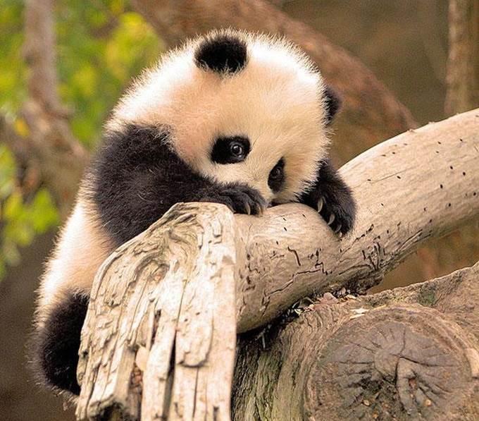 anak panda bergayut