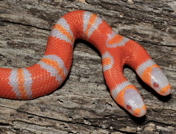 A Unique two headed Snake born in Italy