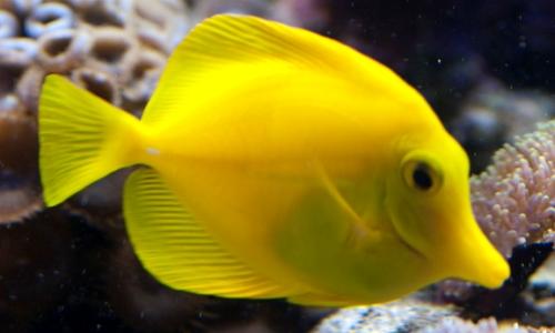 Http Animals Library Blogspot Com 2013 01 Aquarium Fish Yellow Tang Fish Wallpaper Html