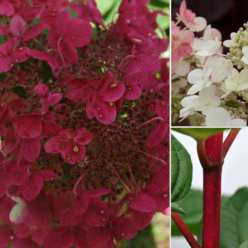 fantastic world of plants for the love of hydrangeas. Black Bedroom Furniture Sets. Home Design Ideas