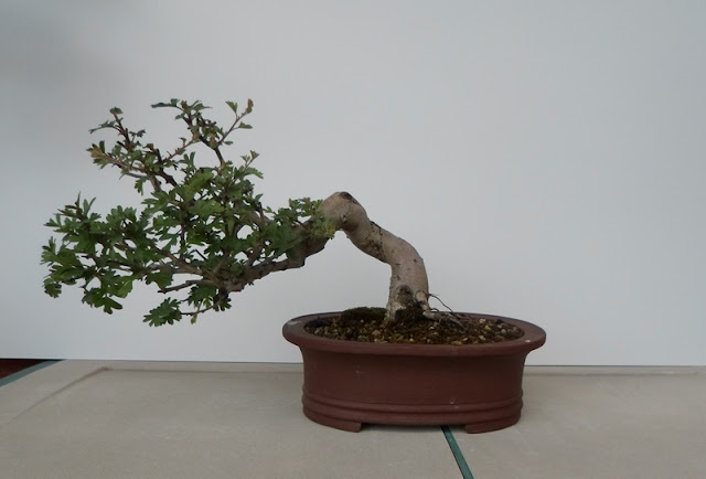 crataegus bonsai cascada