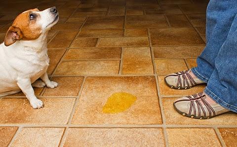 Submissive Urination Dog