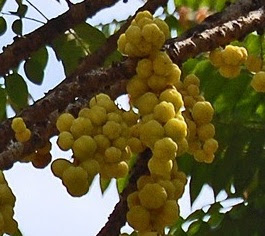 khasiat buah cermai