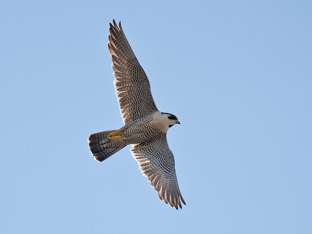 Derby Cathedral Peregrine Project - 2017: May 2012