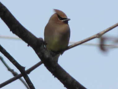 Cedar Waxwing during Migration