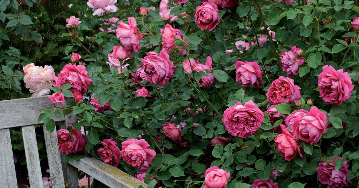 La passion des rosiers la p pini re fil roses entretien rosiers nos 9 conseils pour l - Taille des rosiers automne ...