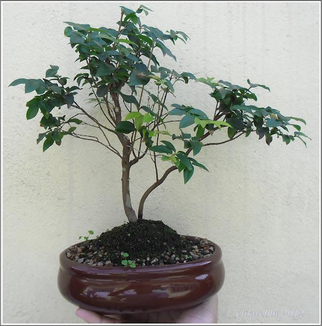 Bonsaiclik como cuidar e cultivar seu bonsai tarefas - Como cultivar bonsai ...