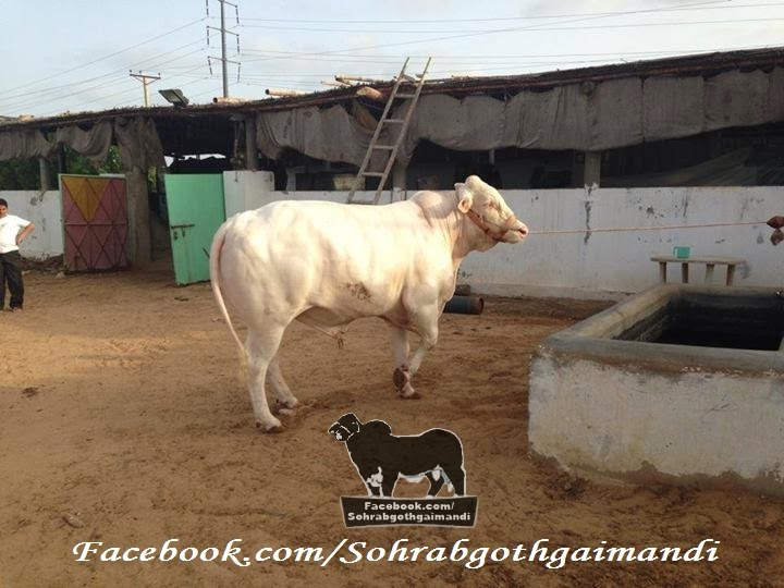 Khawaja Gareeb Nawaz Cattle Farm 2014