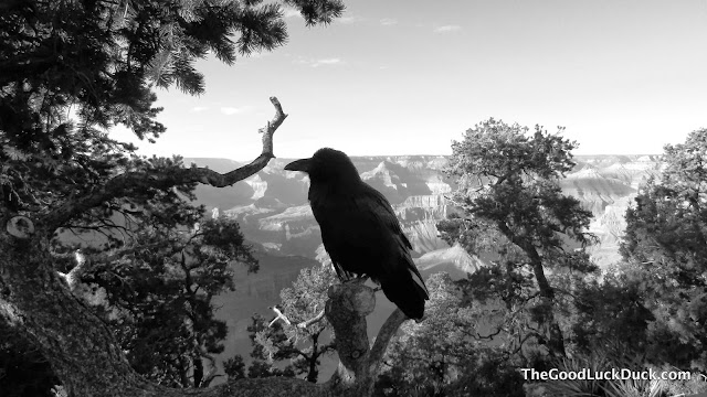 Raven at Hermit's Rest, Grand Canyon
