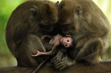 Soal Monyet,  ProFauna Kecam Bupati Karangasem