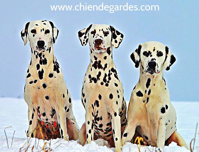 Le Dalmatien chien de garde