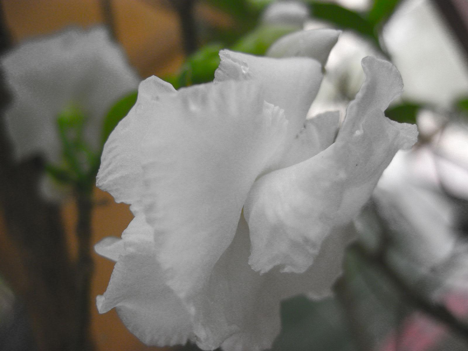 Gambar Bunga Cempaka
