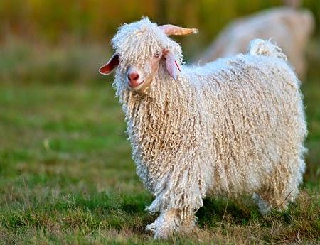 La Lana Mohair la produce la cabra de Angora