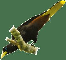 Japú | Crested Oropendola