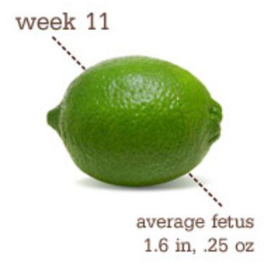 gravid i uge 11