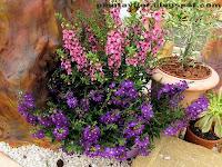 Angelonia-angustifolia color morado y rosa