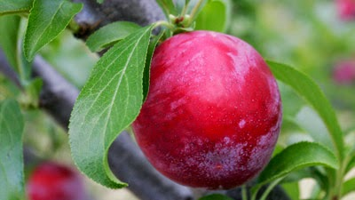 http://1.bp.blogspot.com/-fRob3LcxevQ/VDr598yMOdI/AAAAAAAAEwY/9Iv4w9SdfnM/s1600/plum_fruit.jpg
