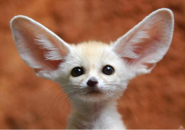 Fennec Desert Fox Pup