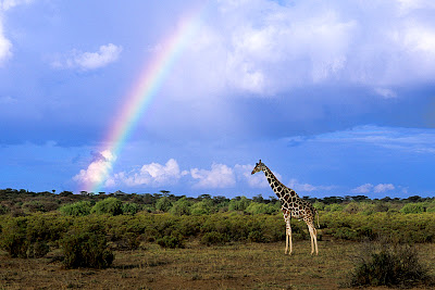 Landscape of flat land and low shrubs and trees with a stately, still giraffe standing near the right center foreground. A sky of mixed blue and clouds fills the upper two-thirds of the frame, broken only by the giraffe's neck and head in the foreground and a rainbow starting near the left and extending all the way up and to the right, disappearing in the center top of the frame.