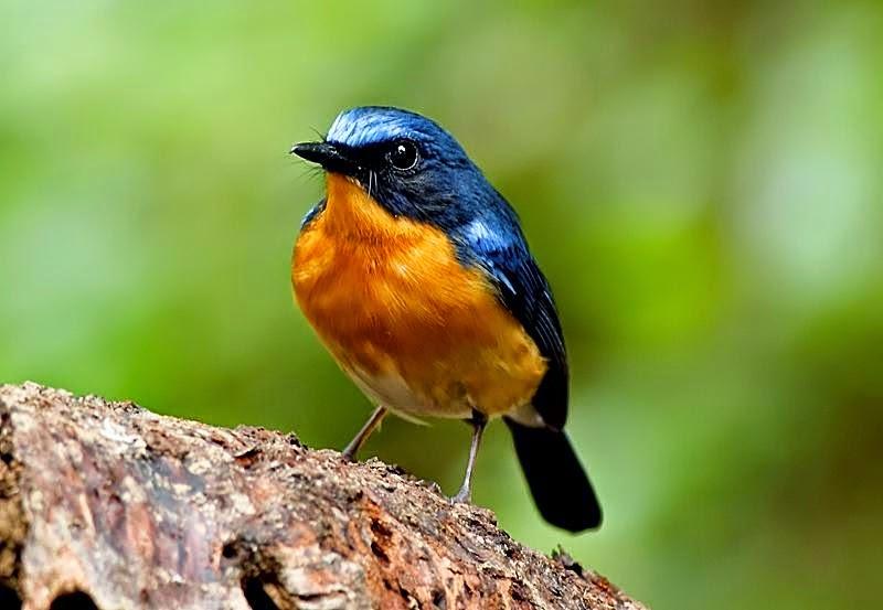 Foto Burung Sulingan  Terbaik