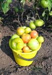 Сорта помидоров для Сибири