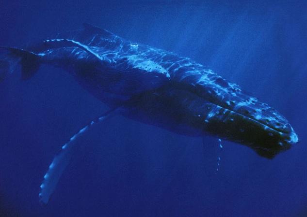gambar hewan - foto ikan paus terbesar di dunia