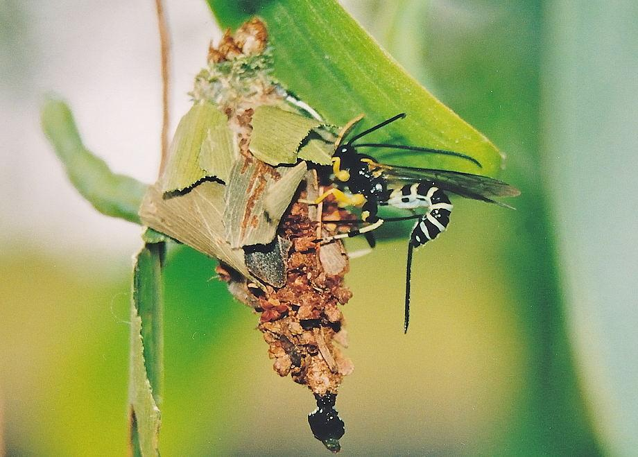Temperate Climate Permaculture: Beneficial Insects: Ichneumon Wasps