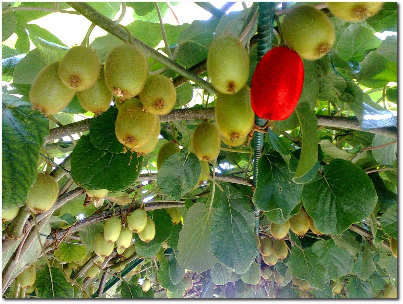 Frutta e verdura dal campo quando raccogliere i kiwi for Kiwi pianta