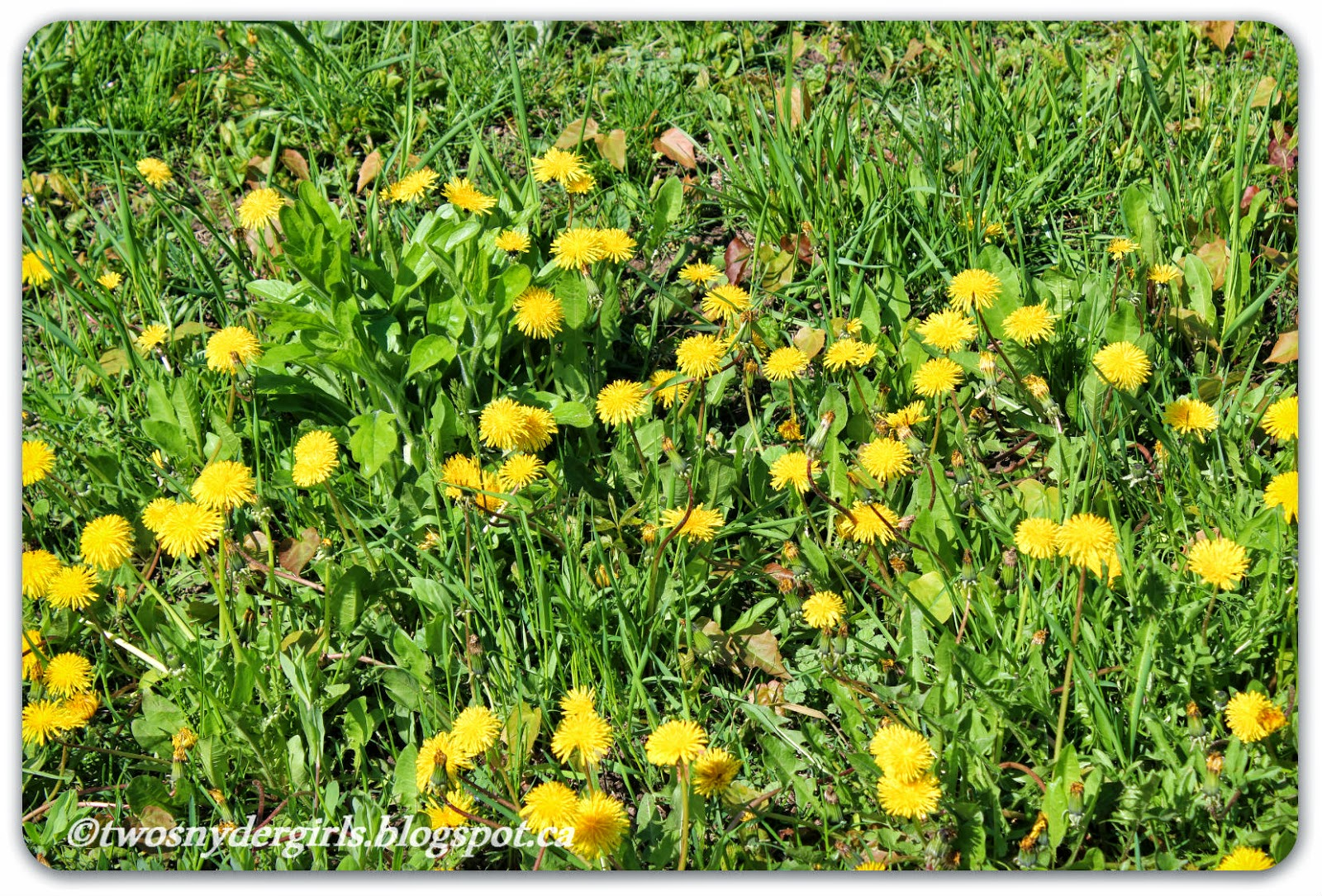 Dandelions in the lawn