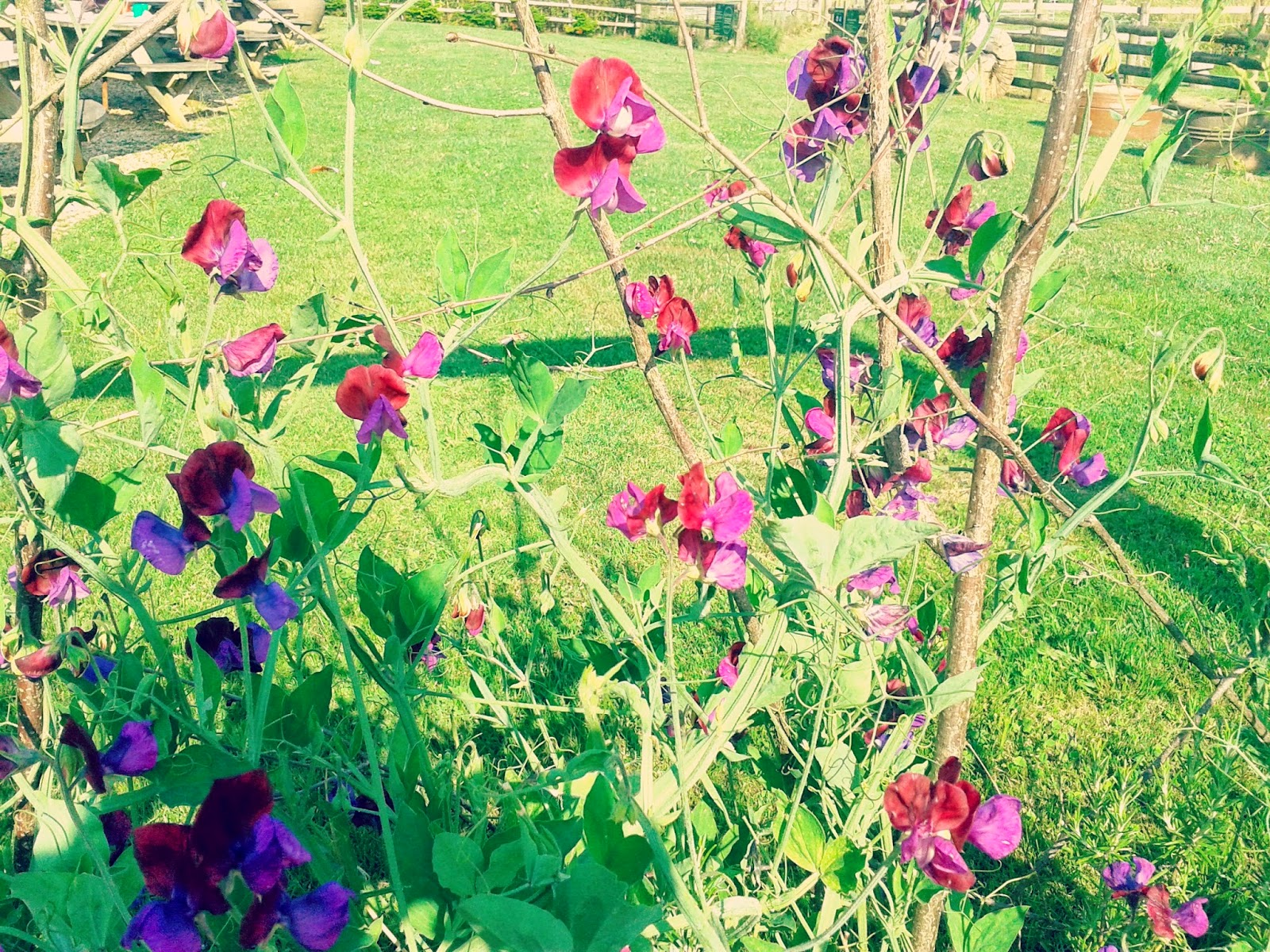 Project 365 day 204 - Sweetpeas // 76sunflowers
