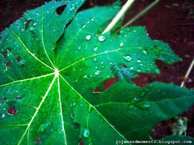 rain drops on leaves, rain drops, pearl on leaves, nature dew