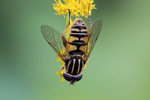 Tierfotos - Insekten - Schwebfliege