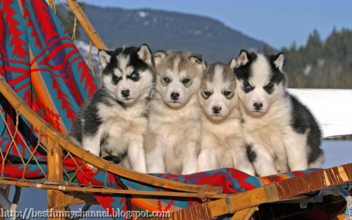 Four Eskimo dog puppies.